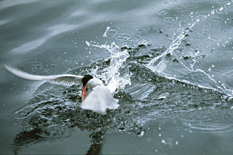 A Catch Of A Tern A Tern A Tern Captures A Fish Animal Themes Animals In The Wild Beauty In Nature Bird Day Motion Nature No People Outdoors Sea Life Water