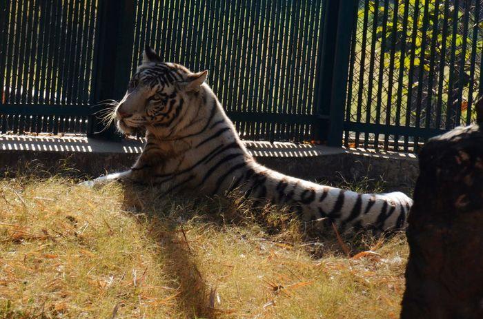 White Tiger.. Showcase March tiger Tiger Love Zoo