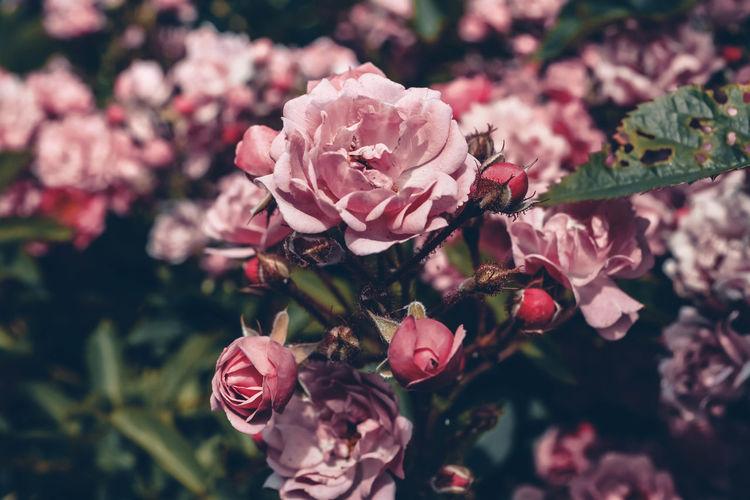 Pink roses Eye EyeEmNewHere EyeEm Best Shots EyeEm Nature Lover Eye4photography  EyeEm Gallery EyeEm Selects EyeEm Selects Flower Flower Head Pink Color Close-up Plant Plum Blossom Blossom Botany Focus In Bloom