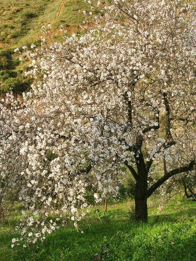 Blossoming almond tree. Tree Almond Tree Almond Tree Blossom Blossom White Blossom Blossom Flowers Flowers Tree In Flower Blossoming Tree Nature Photography Beautiful Nature Andalucía Nature Andalucia Rural