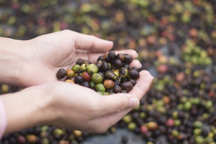 Cropped image of person holding arabica cherry fruits
