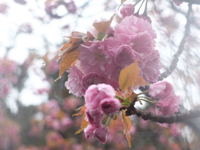 Sakura 桜 Flawer Fujifilm X10 今年の春は雨が多いね