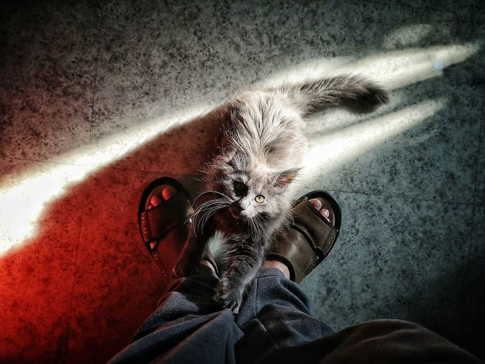 Mon rayon de soleil Cat Feline Kitten Norvegianforrestcat Gato Chat Pets Low Section Human Leg Shoe Standing Personal Perspective High Angle View Close-up