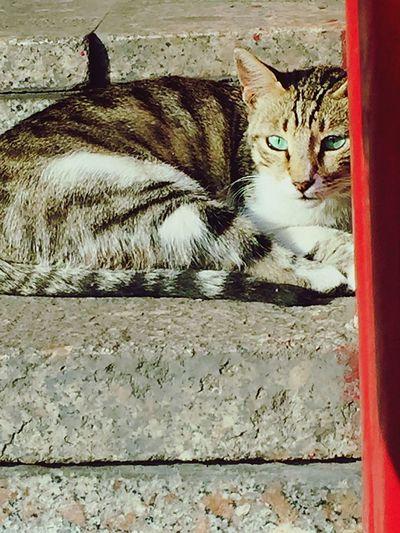 Eyecolor Lookatcamera Domestic Cat Domestic Animals Pets Animal Themes One Animal