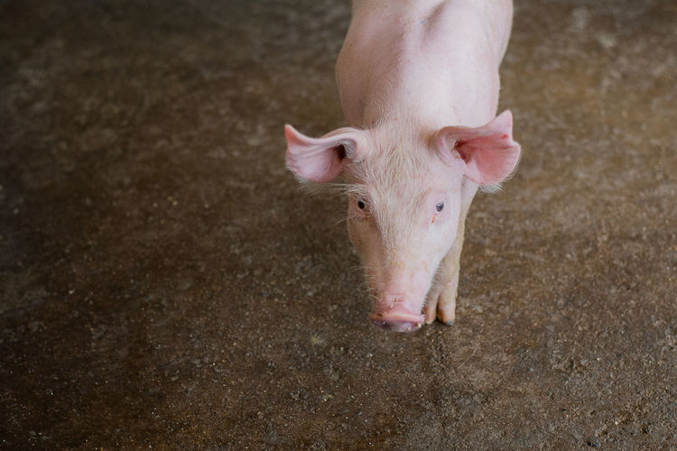 Small pigs at the farm,swine in the stall. group of piglets a farm yard at thailand meat industry.