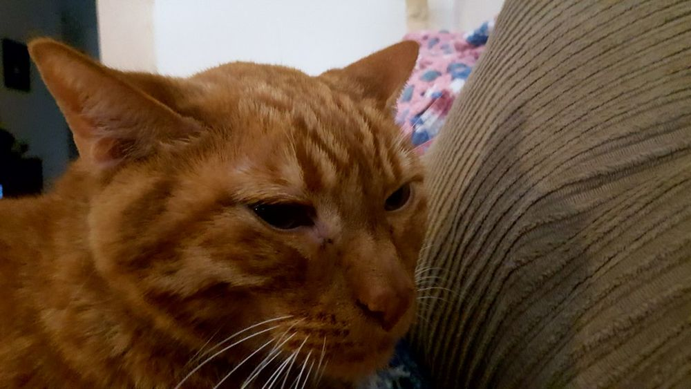 Orange Tabby Whiskers One Animal Animal Themes Pets Domestic Cat Domestic Animals Mammal Close-up Indoors  Feline Cat Whisker Looking Away Animal Head  Curiosity Focus On Foreground Zoology Whiskers Animal Nose Tabby No People
