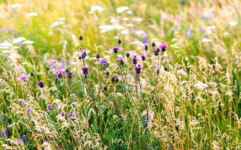Beauty In Nature Close-up Field Flower Flower Head Flowering Plant Freshness Growth Land Nature No People Outdoors Plant Selective Focus Siberia Summer Sunlight