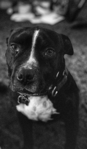 Rare animal shot. This is Boost. He's got to be one of the most docile Pit Bulls I've ever seen. But don't get it twisted. He's still a Pit. I fear for the person that would ever try to do harm to his owner. His other instincts would go into full effect. But til then, he's a lil teddy bear 🐻. Black And White Blackandwhite Canine Dog One Animal Pets Domestic Domestic Animals Mammal