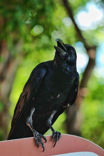 Bird Animal Wildlife Black Crow Crow Raven - Bird One Animal Nature Perching Animals In The Wild Outdoors Day Songbird  Full Length Black Color No People Close-up Animal Themes Portrait Tree Dusit Zoo Bangkok, Thailand