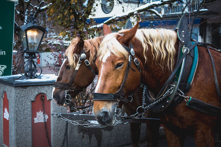 Schwangau, Germany November 17, 2017: Beautiful horses drawn carriage in Village of Royal castles Schwangau in winter, Bavaria, Germany Domestic Domestic Animals Mammal Animal Animal Themes Livestock Horse Pets Animal Wildlife Vertebrate Bridle Day One Animal Focus On Foreground No People Close-up Outdoors Working Animal Brown Animal Head  Herbivorous Horses Schwangau Neuschwanstein Castle #NotYourCliche Love Letter My Best Photo