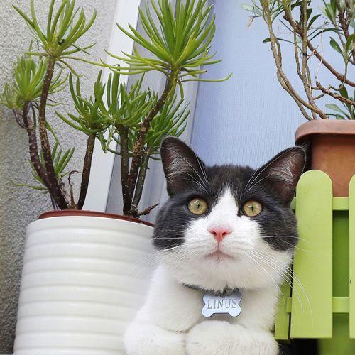 Portrait Domestic Cat Looking At Camera One Animal Pets Feline Pet Portraits Pet Photography  Pet Cat Cats Bicolour Cat Tuxedo Cat Posing Cat Posing Serious Cat Serious