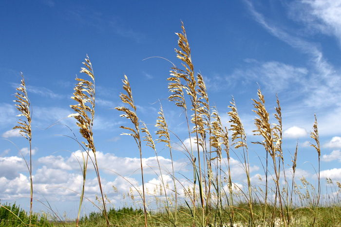 Beauty In Nature Close-up Day Field Grass Growth Nature No People Outdoors Plant Rural Scene Scenics Sea Oats Sky Tranquil Scene Tranquility