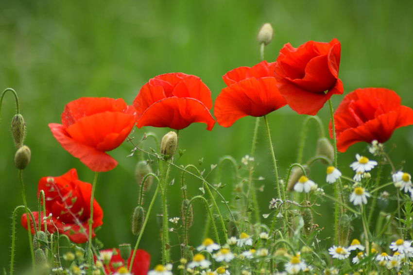 Poppy in the wind Beauty In Nature Beauty In Nature Blooming Close-up Day Flower Flower Head Fragility Freshness Growth Meadow Flowers Nature No Need For Photoshop No People No Photoshop Outdoors Petal Plant Poppy Red Red Flower Simple Beauty Simple Things In Life Still Life