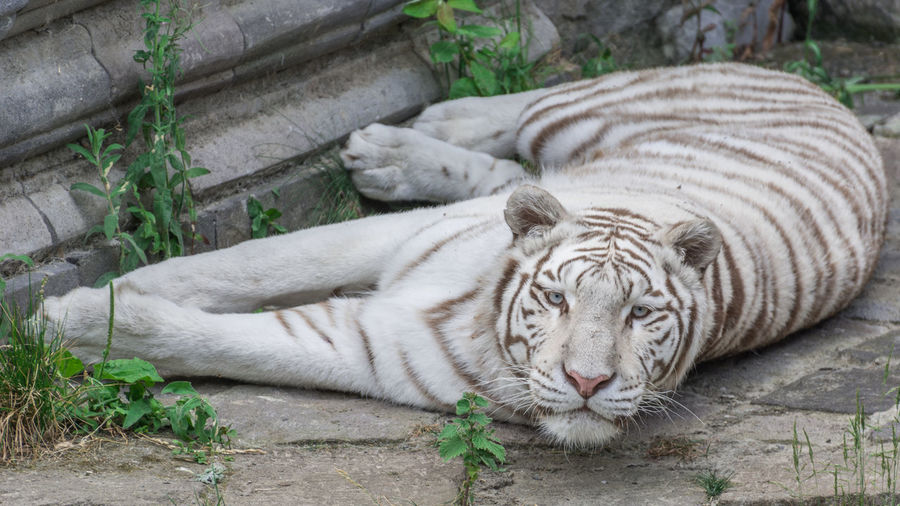 Close-up of white tiger in captivity