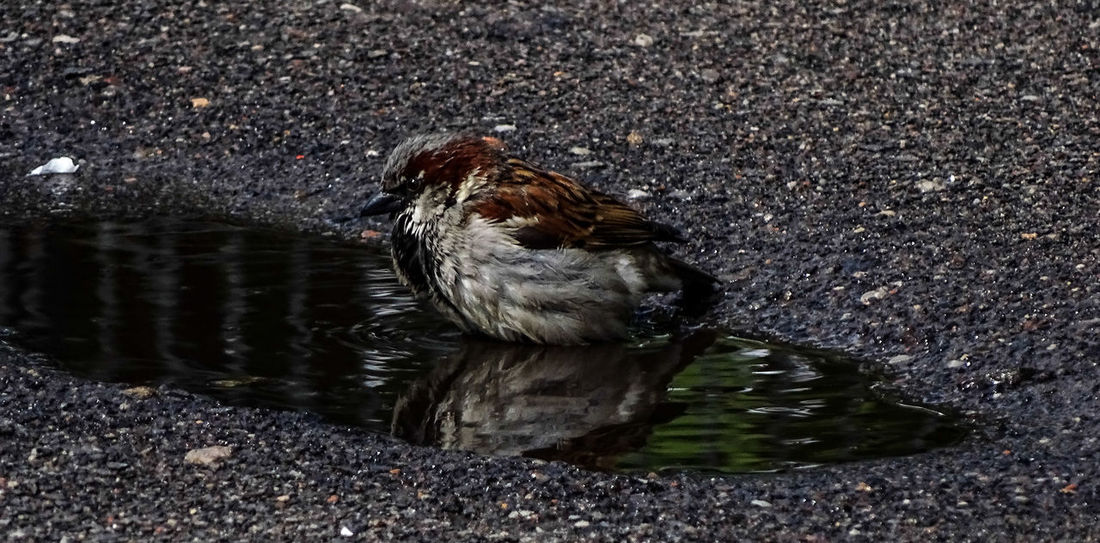 Animal Themes Animals In The Wild Beauty In Nature Bird Nature Sparrow Bathing Sparrow Bird Water