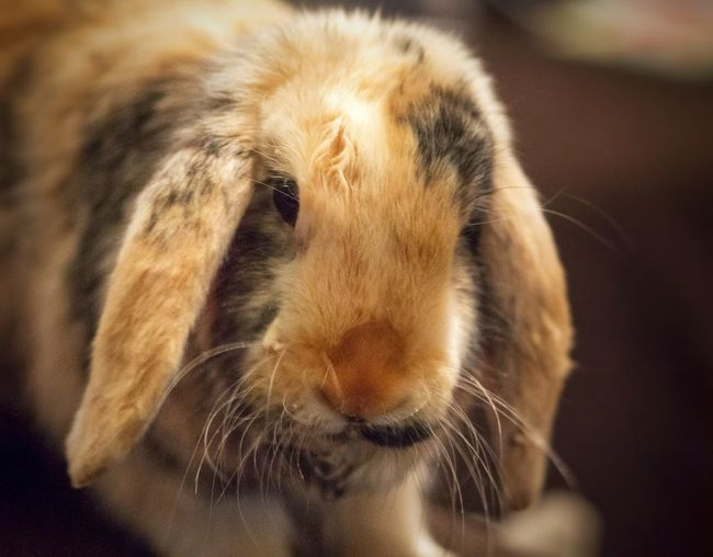 Close-up portrait of rabbit