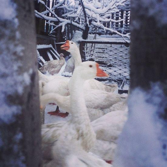 рождество - традиционно день скорби у гусей и индюшек. федядичь пухиперья гага