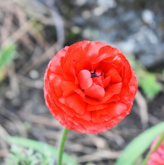 Beauty In Nature Blooming Close-up Flower Flower Head No People One Flower One Thing Petal Red