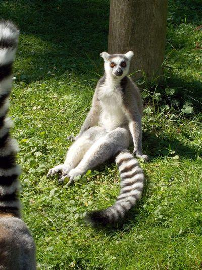 Lasy Lemur Catta Relaxation Zoo