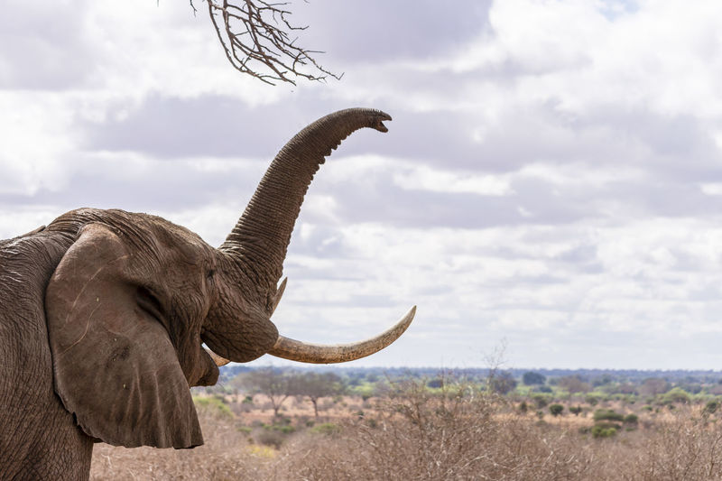 Africa African Elephant Animal Themes Animal Wildlife Beauty In Nature Cloud - Sky Day Elephant Elephant Blows Nature One Animal Outdoors Red Elephant Red Elephant Safari Animals Side View Sky Tsavo East