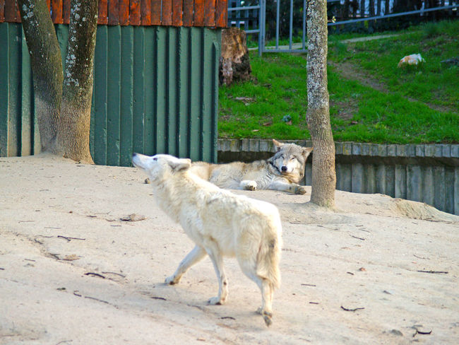 Animal Animal Photography Animal Themes Animals Beautiful Canis  Canis Lupus Day Environment Howl Howling Mammal Nature Nature No People One Animal Outdoors White Wildlife Wolf Wolfs  WOlves Zoo Zoo Animals