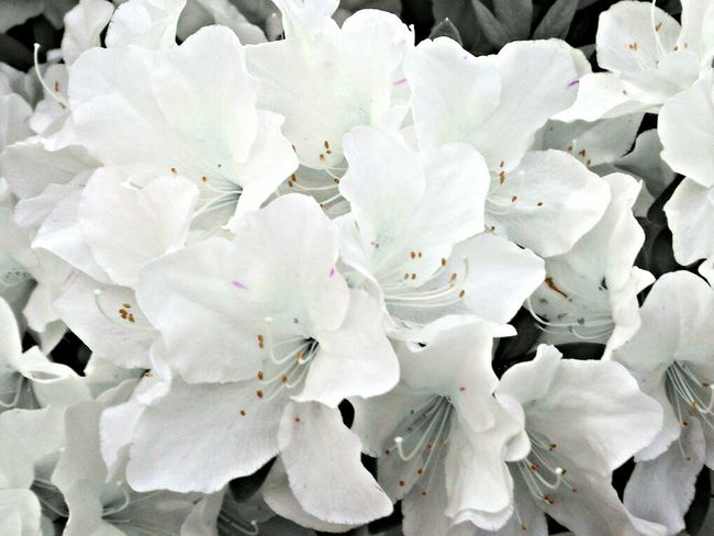 Flowers Spring Flowers Nature_collection Azalea