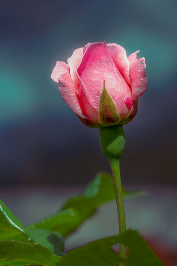 Close-up of pink rose bud
