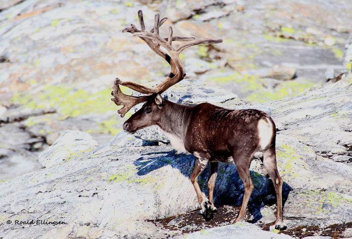 Reindeer Reindeer Sighting Røldal