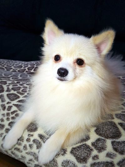 Animal Themes Portrait One Animal Domestic Animals Looking At Camera Mammal Pets Close-up Indoors  No People Dog Pomeranian Day Pomeranian
