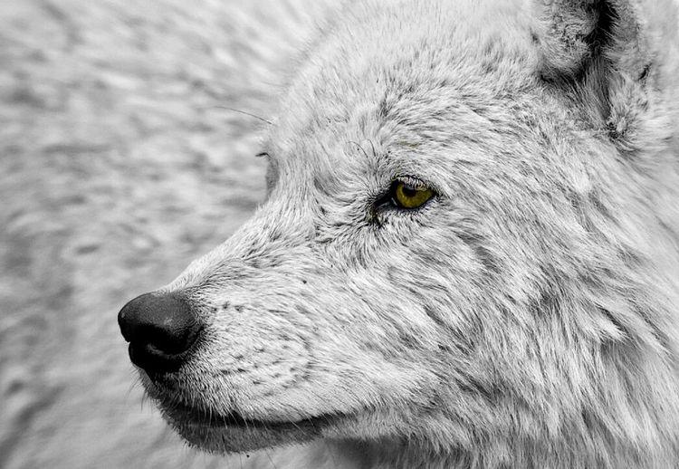 Taughtful. Wolf