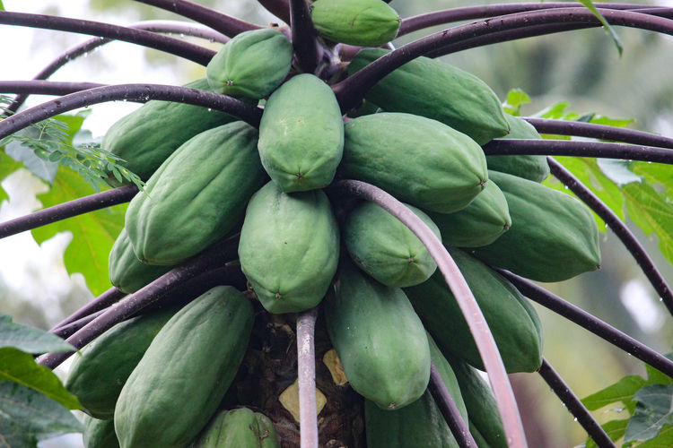 Raw papaya Fruit Papaya Nature Backgrounds Tree Leaf Fruit Agriculture Close-up Green Color Plant Food And Drink Full Frame Textured  LINE Rough Bark Tree Ring Rugged Detail Sky Only Natural Pattern Forestry Industry Pineapple Passion Fruit Date Organic Farm Greenhouse Bunch Tropical Flower