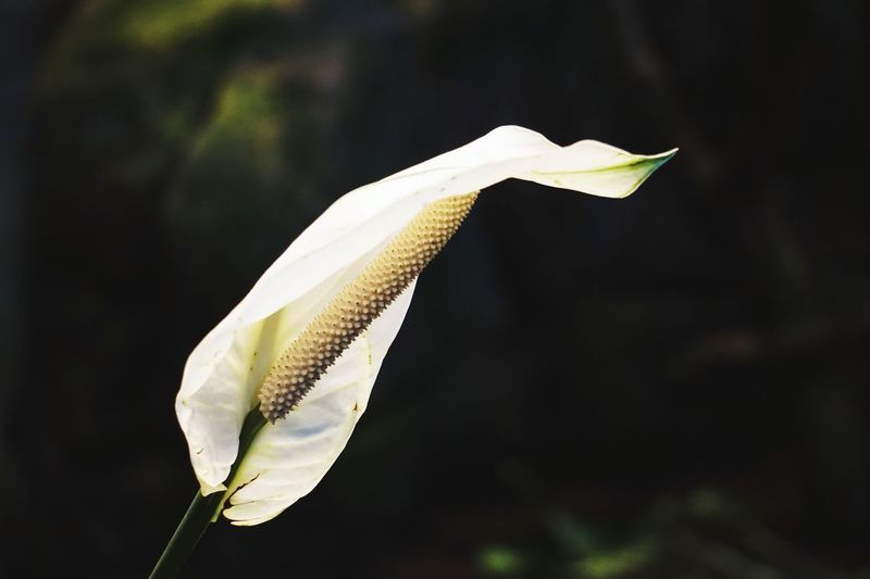 This flower looks as white as a sheet. Flower Single Flower Flower Head Nature Beauty White Flower White Dark Background Macro Makro Botany Botanical Gardens Wilhelma Sony A6000 Stuttgart Eyeem0711 Black Background Close-up No People Nature EyeEmNewHere