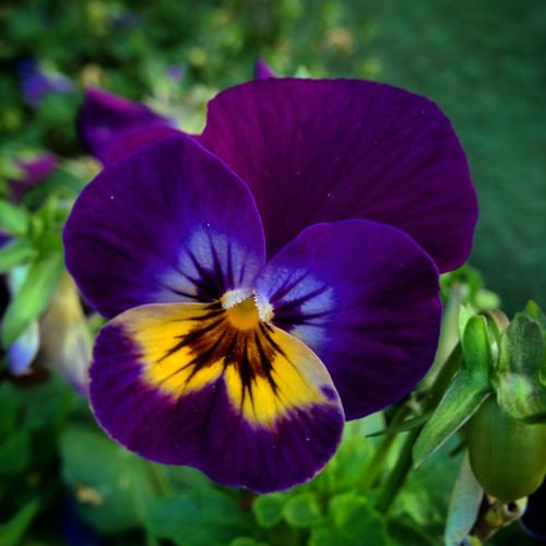 Flower Purple Petal Fragility Nature Flower Head Beauty In Nature Freshness Plant Close-up Outdoors No People Growth Day Pansy Springtime Multi Colored Iris - Plant