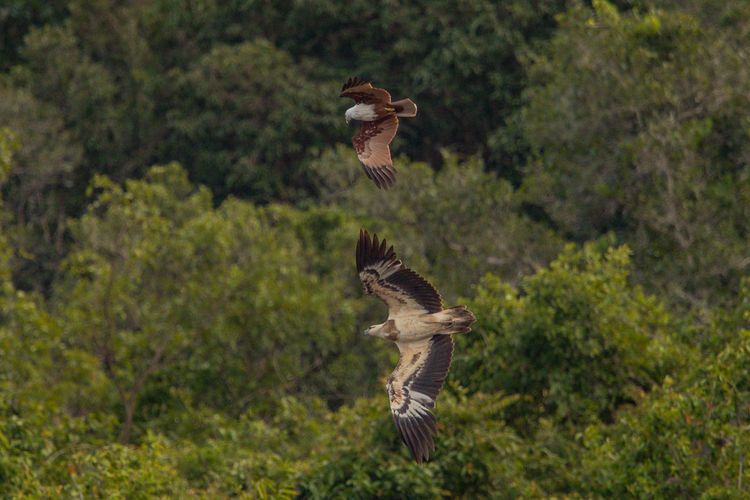 Brahminy kite and white-bellied sea eagle flying against trees in forest