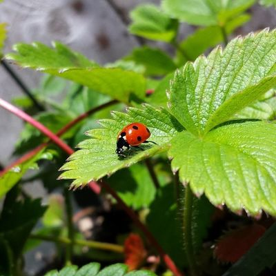 Ladybug checking out my strawberries (: Ladybug Strawberries Nofilter