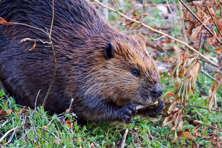 Nomm…nomm… Beaver The Beav Eating Eating Healthy Eating Out Nature Urban Nature