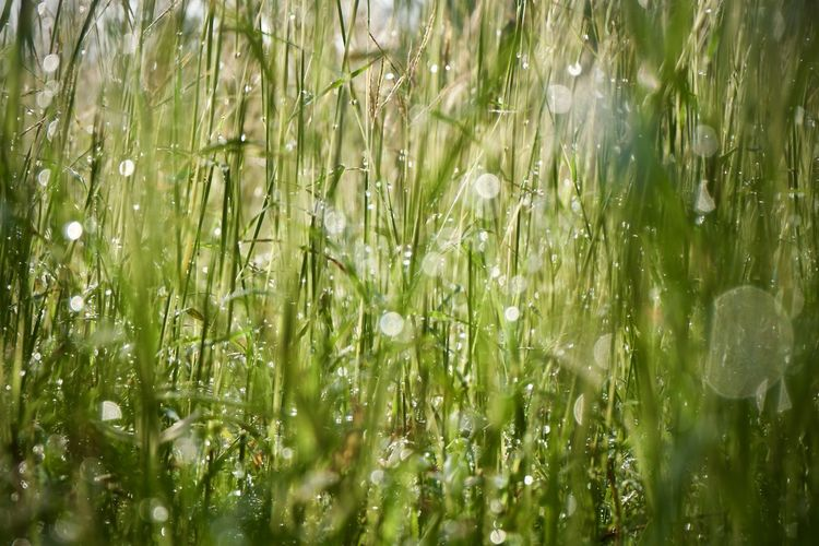 Plant Wet Green Color Growth Beauty In Nature Drop Nature No People Water Tranquility Day Selective Focus Rain Backgrounds Land Full Frame Field Grass Fragility Outdoors Dew Rainy Season Blade Of Grass RainDrop