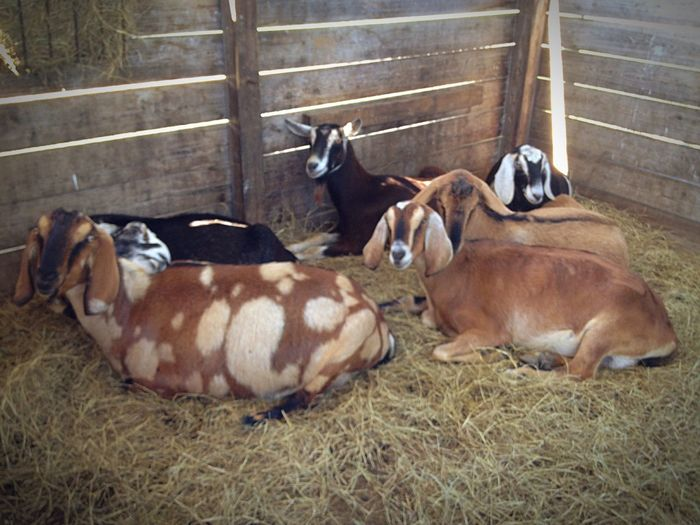 Serenityacres Animal Photography Animal_collection Animal Lovable Pets! Farmersonly Relaxing A Moment Of Zen... Goat Goatfarm Goat Life Serenitygoats