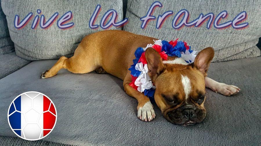 vive la france.... Samsung S6edge Photography French Bully Bulldog Verrückte Kuh Football WM2018 France 🇫🇷 Pets Dog Lying Down Portrait