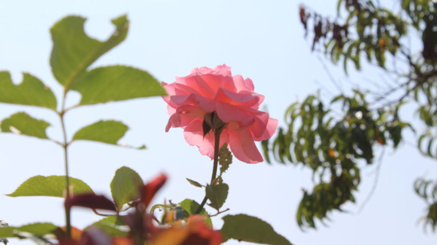 Rosa Galicia