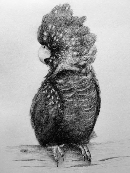Female Eastern Red Tailed Black Cockatoo in pencil