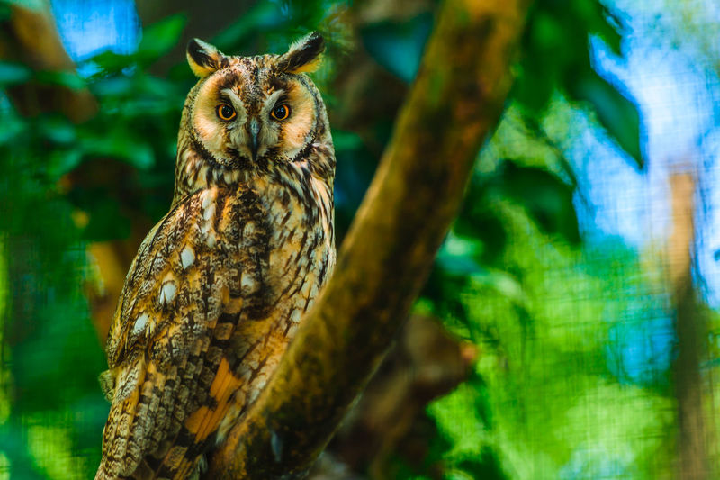 Long-eared owl in the zoo in Opole Animal Themes Animal Animal Wildlife One Animal Animals In The Wild Vertebrate Tree Plant Nature No People Looking At Camera Day Focus On Foreground Low Angle View Owl Bird Close-up Selective Focus Branch Bird Of Prey Outdoors Long-eared Owl Asio Otus