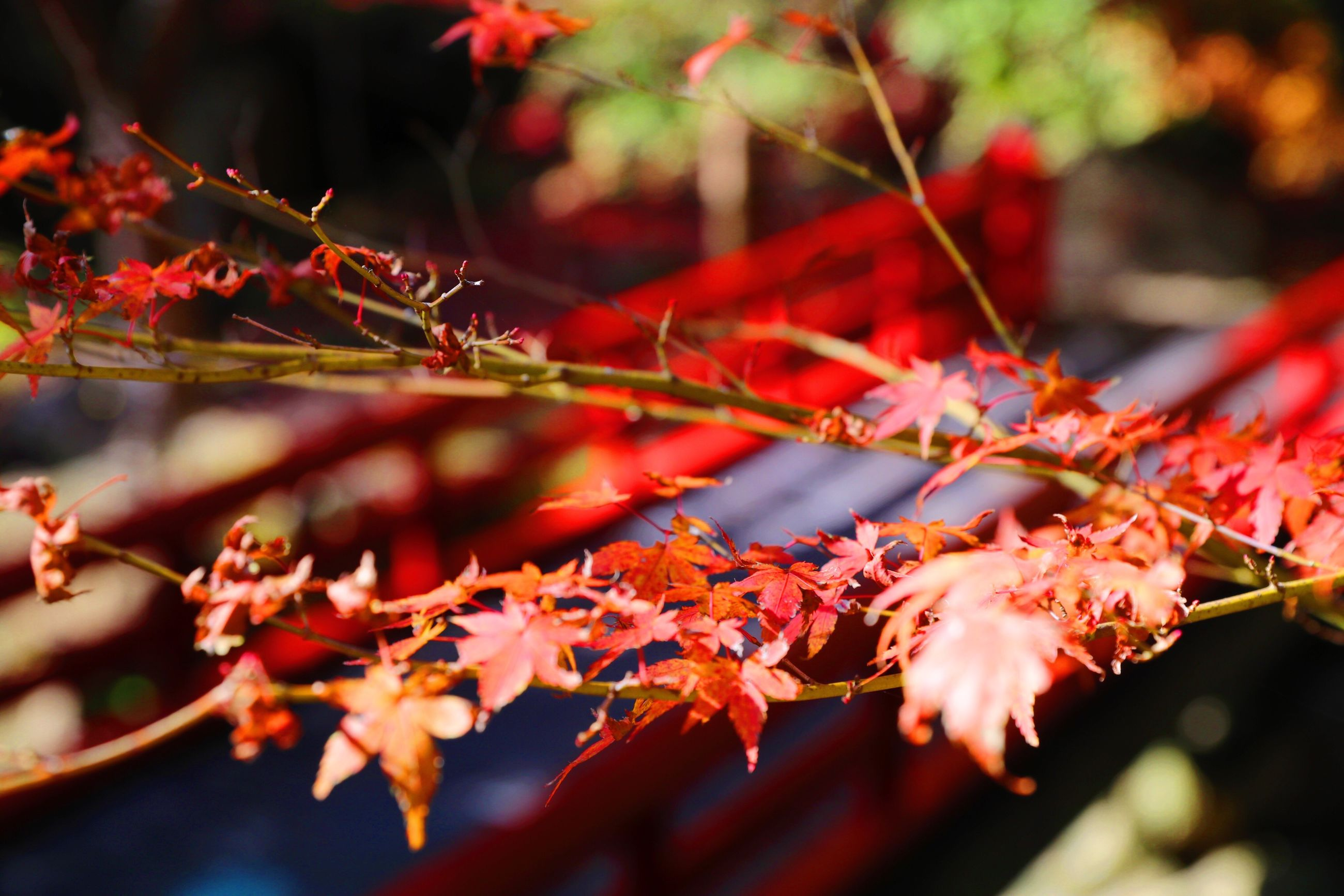 autumn, leaf, nature, change, beauty in nature, maple leaf, growth, red, close-up, outdoors, leaves, no people, maple tree, day, tree, maple, branch, freshness