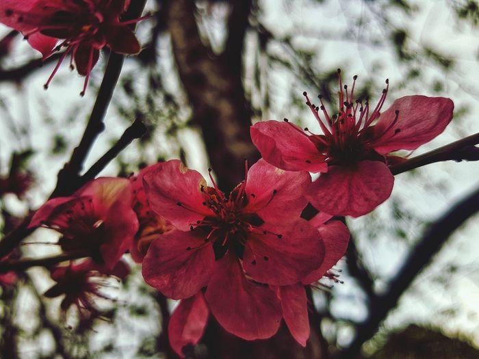 Spring Nature Newlifebegin Springtime Flower Head Flower Tree Red Petal Branch Springtime Blossom Close-up Plant Pollen