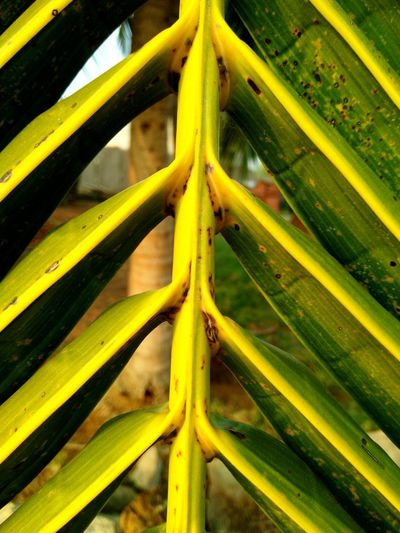 Coconut tree leaf EyeEmNewHere Coconut Trees Coconut Leaves Coconut Palms Science Biology Full Frame Yellow Close-up Plant Life Palm Tree Coconut Palm Tree Coconut Date Palm Tree Growing