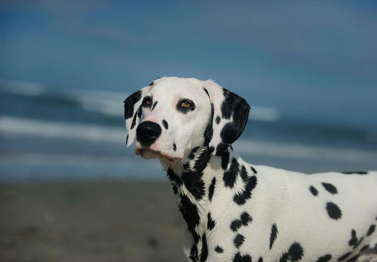 Close-up of dalmatian dog against sea