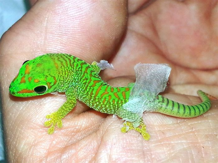 "The first baby from my first Grandis (""GinaHamMadaga""), that was my first gecko-baby born (19.May 2013) in my house. (13.April 2016, 01:57 p.m.). Justborn Just Born Baby Babys Babyanimals Baby Animals Taking Photos Check This Out Hello World FirstTime First Time First Day Enjoying Life Reptilelove Grandis Green Nature Exotic Creatures Special_shots Popular Photos Beautiful Nature New Life Hatched First Second Of The Life Animals Reptile World"