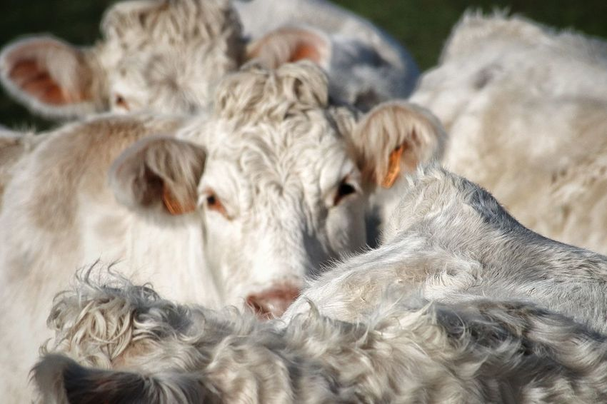 Vacas Mammal Animal Animal Themes Livestock Domestic Animals Pets Domestic Group Of Animals No People Close-up Focus On Foreground Vertebrate Relaxation Animal Wildlife Animal Body Part White Color Portrait Animal Head  Day Herbivorous
