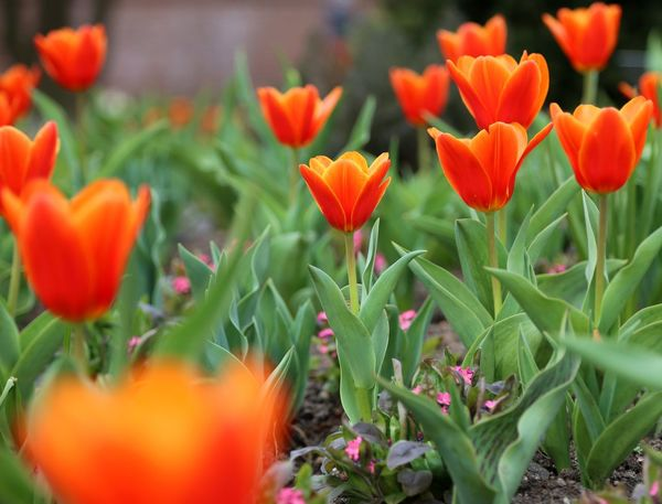 Tulipano Rosso Branch Flower Present Springtime Soutien Gorge Love Symbol Valentine's Day  Tulipa Kaufmanniana Nature Flower Bed Red Tulips Beauty In Nature Freshness Growth Red Color Tulips🌷 Tulips Spa Zen Fragility Landscape Spring Flowers Spring Valentine's Day  Valentine's Day
