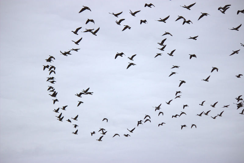 Low angle view of silhouette canada geese flying against cloudy sky